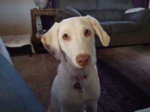 Labrador Puppy Training for Mesa AZ | Kona's Dog Training Tempe, AZ